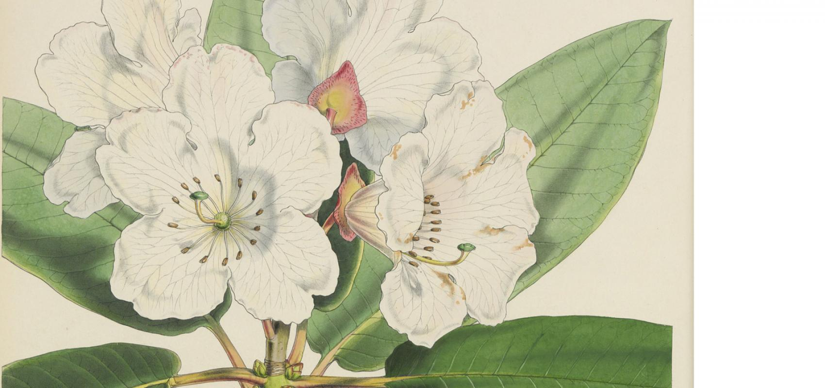 The Rhododendrons of Sikkim-Himalaya -  - Joseph Dalton Hooker / BnF